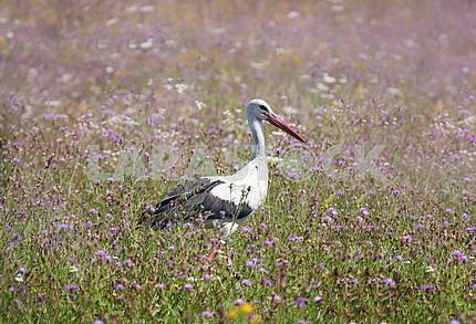 White stork walking on a green meadow