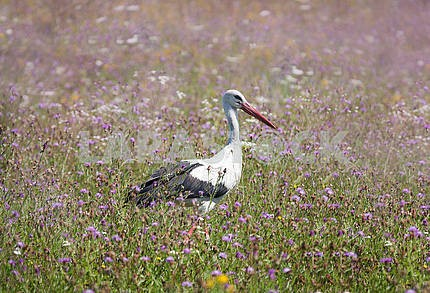 White stork walking on a green meadow