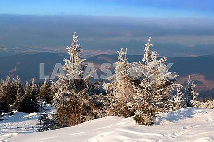 Fir trees covered with snow on background mountains and blue sky