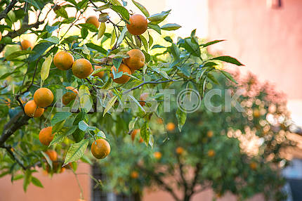 Mature tangerines on tree.