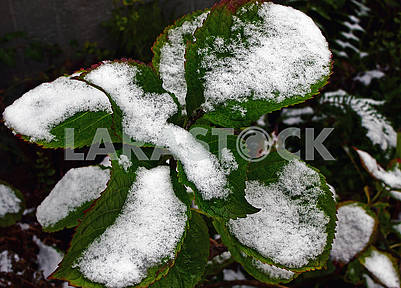 The green leaves of hydrangea are covered with the snow