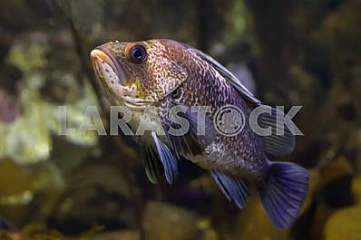 Dusky rockfish (sebastes ciliatus), close-up