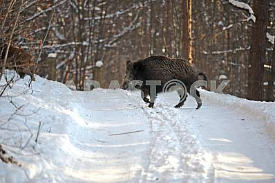 Winter. A wild boar