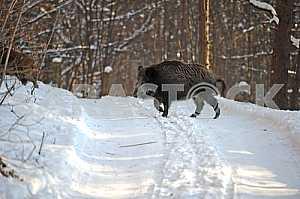 Winter. A wild boar