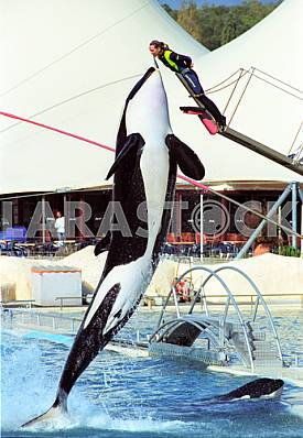 Trained whale orca