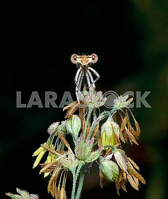 Dragonfly on a plant covered with dew drops.