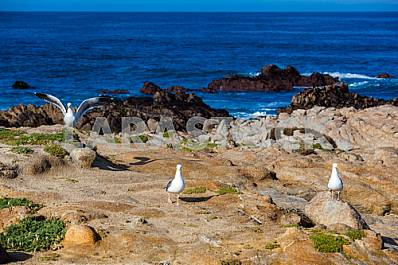 Three seagulls on the shore of the Pacific Ocean in California