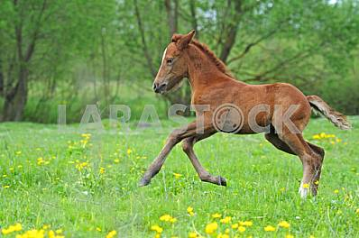 Foal galloping on meadow