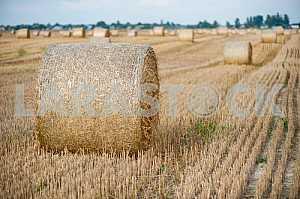 Собранная солома на поле после сборки урожая