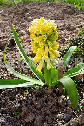 Light yellow hyacinth flower or hyacinthus in spring garden