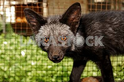 Portrait of black foxes