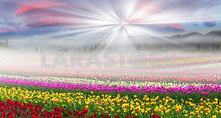 Field of tulips in the fog