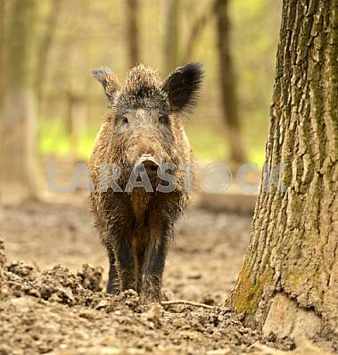 Wild boar from a tree