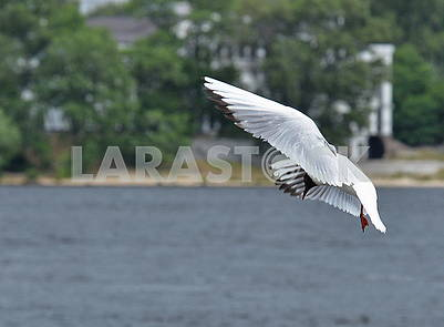 Seagull over the Dnieper