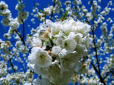 Blooming cherry on a background of blue sky.