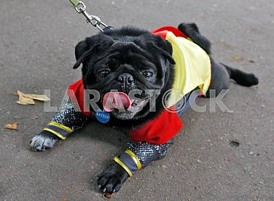 Pug Exhibition in Kiev