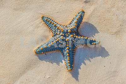 Sea Star Shore