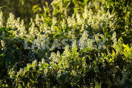 Branches with white buds. Chernihiv region. The village of Mezin