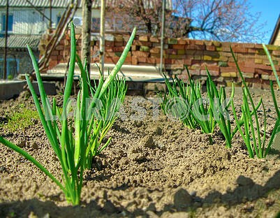 Green onion grows at home in the garden.
