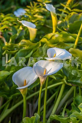 Flowers calla