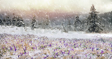 Crocuses in a blizzard