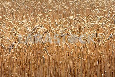 large field of ripe wheat