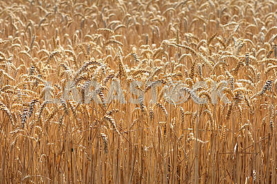 Large field of ripe wheat
