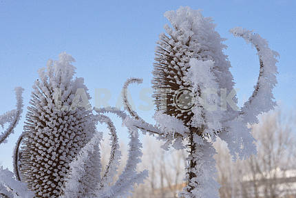 Plants covered with hoarfrost