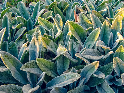 Lamb's Ears, Turkish lamb's ear, Stachys byzantine (Stachys Lami