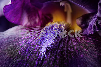 purple iris flower close up