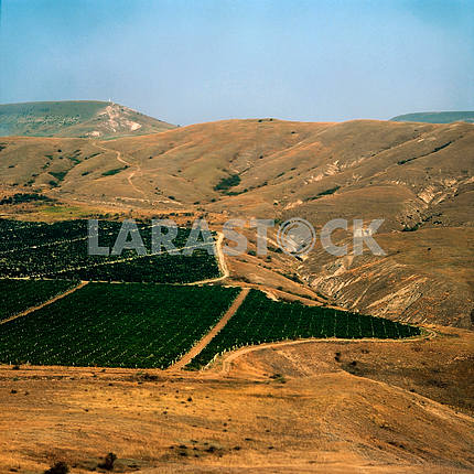 grape Plantations