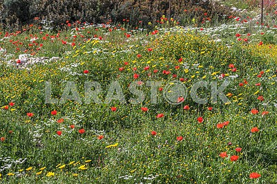 Red poppies and chamomiles