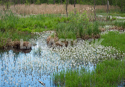 White flowers in the water