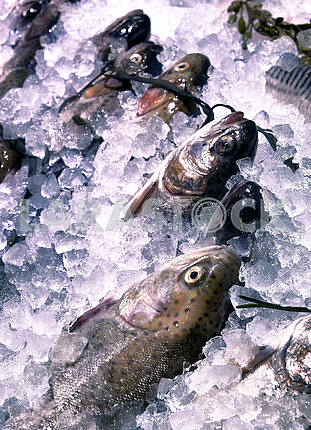Trout in the ice