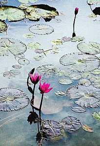 Lotus flowers in the lake