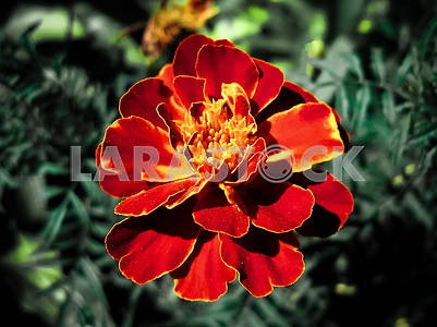 Large bright red flower `tchernobrivets` bud