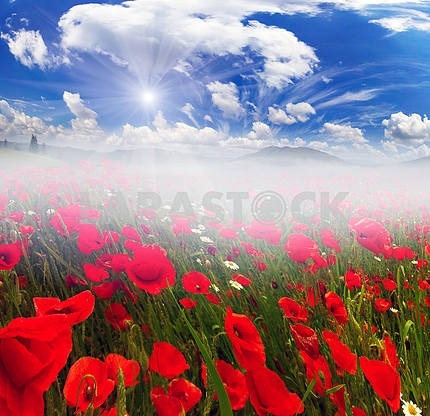 Field with bright blooming poppies