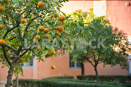 Two tangerines on tree