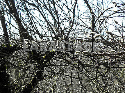 Springtime is coming,early messengers,magnolia buds,Croatia,17