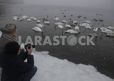 People take pictures of swans