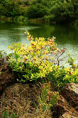Shrub with yellow leaves and red fruits.It is growing in the rocks. on the shore.
