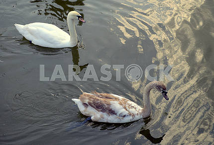 Two swans in a pond.