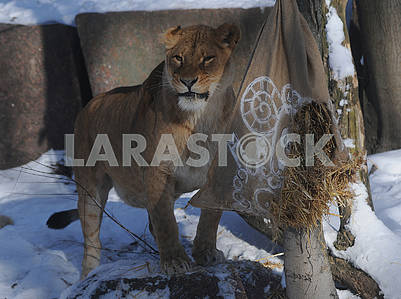 Lioness rips a bag of straw