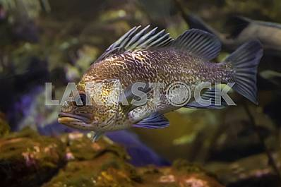 Dusky rockfish, close-up