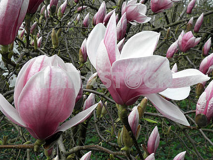Magnolia's bloom in the springtime,Croatian countryside,5