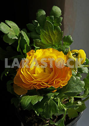Blooming yellow begonia