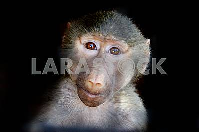 Portrait of a macaque in a cell on a black background