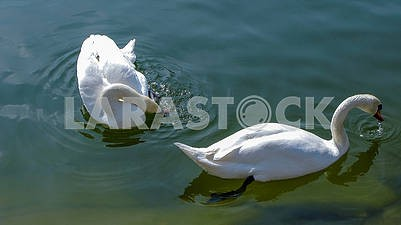 Beautiful white swans on a pond