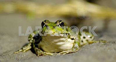 "Most ""smiling"" green frog with a drop on the lip"