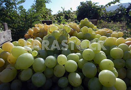 Collected grapes
